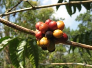 Lao coffee beans